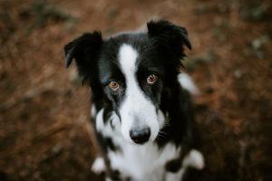 Hundefotos Aachen Porträt Australian Shepard