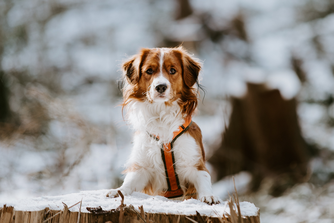 Hundefotos Aachener Wald Tierarzt Aachen Kooikerhondje © Sarah Thelen